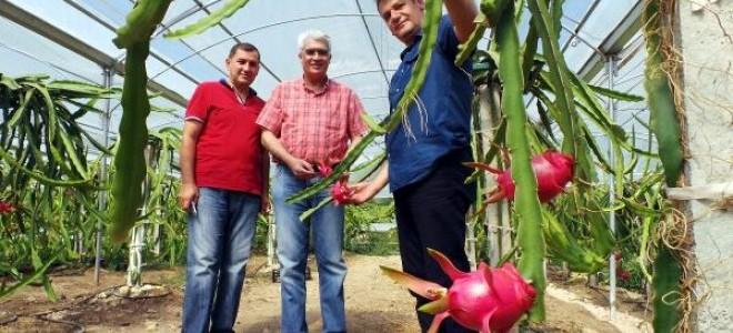 Çukurova'da pitaya üretimi başladı