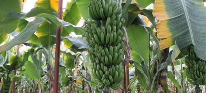 Dünyanın en popüler meyvesi yok olma tehlikesiyle karşı karşıya
