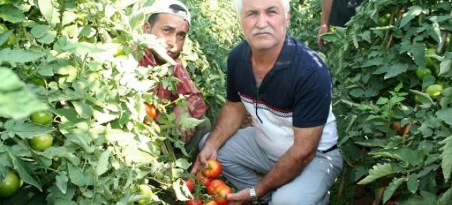 Erdemli'de domates dalında kaldı