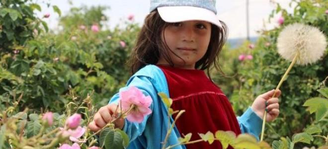 Isparta'da 8 bin ton gül çiçeği rekoltesi bekleniyor