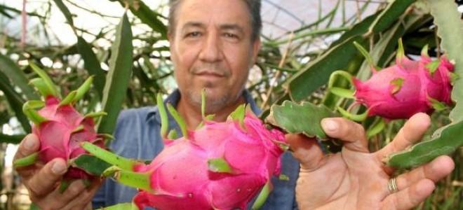 Mersin'de pitaya hasadına başlandı