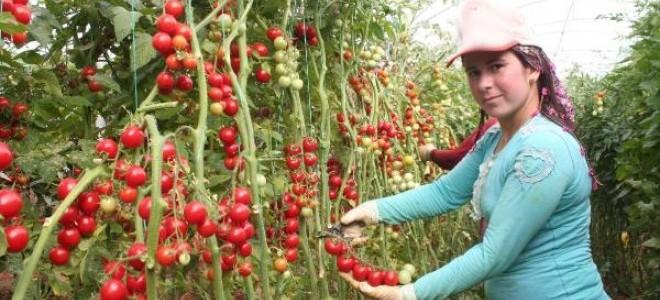 Mersin'in çeri domatesi kazandırıyor