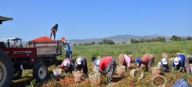 Salçalık domatesin fiyatı düştü, çiftçi tepki gösterdi