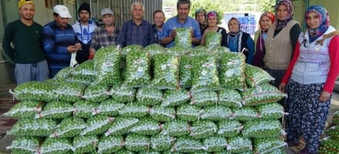 Silifke'de erik ihracatı başladı