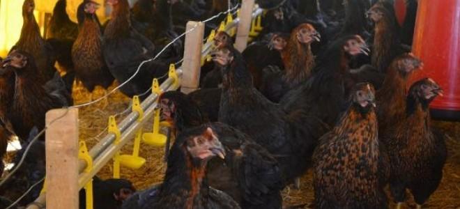 Tavukçulukta dünyada ilk 10'ndayız