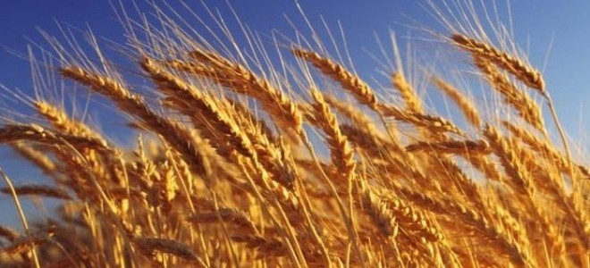 Buğday Rekoltesinde Düşüş