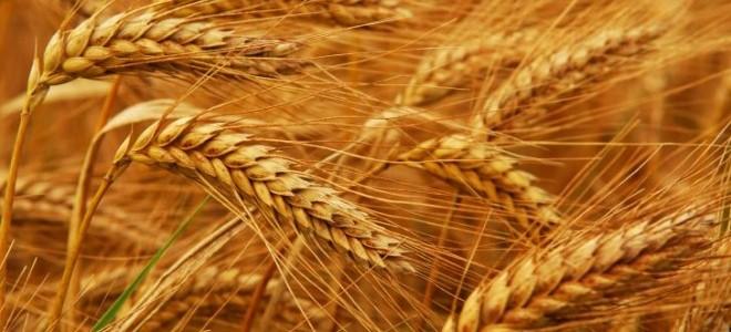 Buğdayı 'Kök Hastalığı' Vurdu; Yüzde 50 Kayıp Bekleniyor