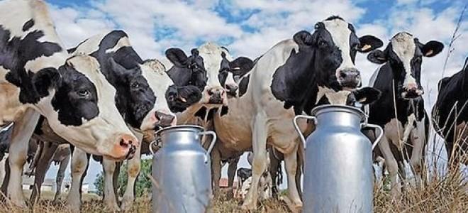 Toplanan İnek Sütü Miktarı Arttı