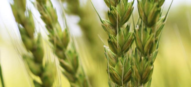 Türkiye Pirinç İthal Etmek Zorunda Kalmayacak