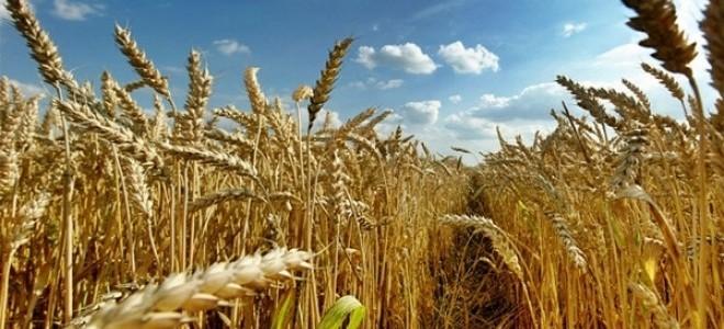 Tzob/bayraktar: Ocak Ayındaki Yağış Çiftçiyi Umutlandırdı